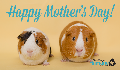 E-Card: Mother's Day Guinea Pigs